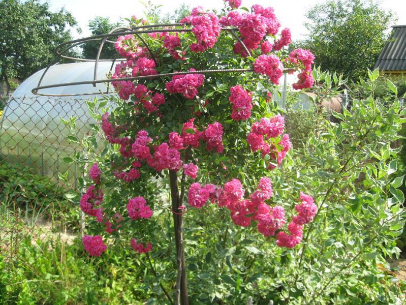 Опоры для штамбовых роз своими руками фото 15