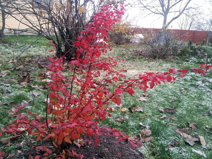 Как сажать кусты барбариса осенью 50