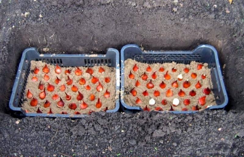 Как сажать тюльпаны в контейнер 595