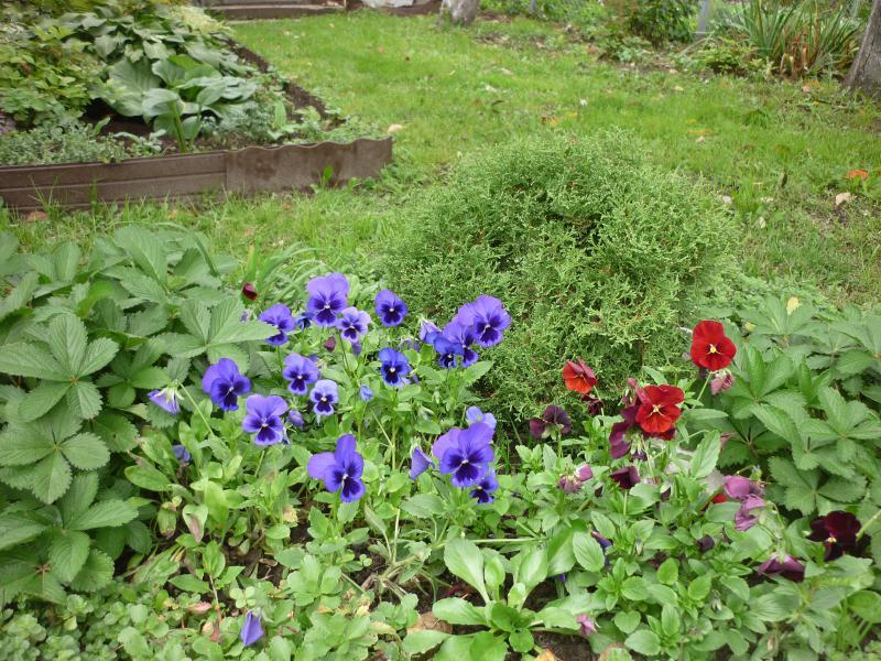 Лён цветов в клумбе