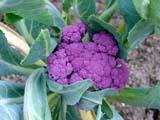 Это не фотошоп_а            сорт цветной капусты