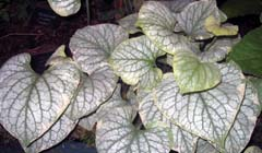 Brunnera macrophylla_Long acre cream