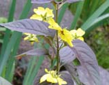 Lisimachia ciliate Fire cracker