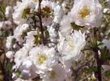 Prunus glandulosa_ff-alba