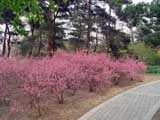Prunus glandulosa-ff-rosea
