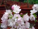 Prunus japonica-ssp-kunaschiriensis