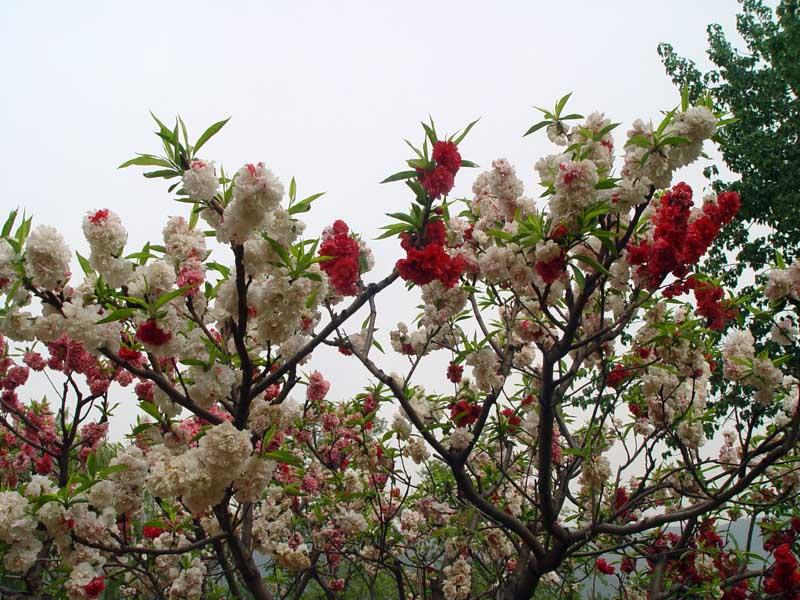 Ханами - праздник сакуры