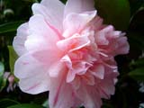 Camellia 'Duque do Loule'
