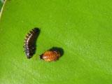 Личинка и куколка кувшинкового листоеда