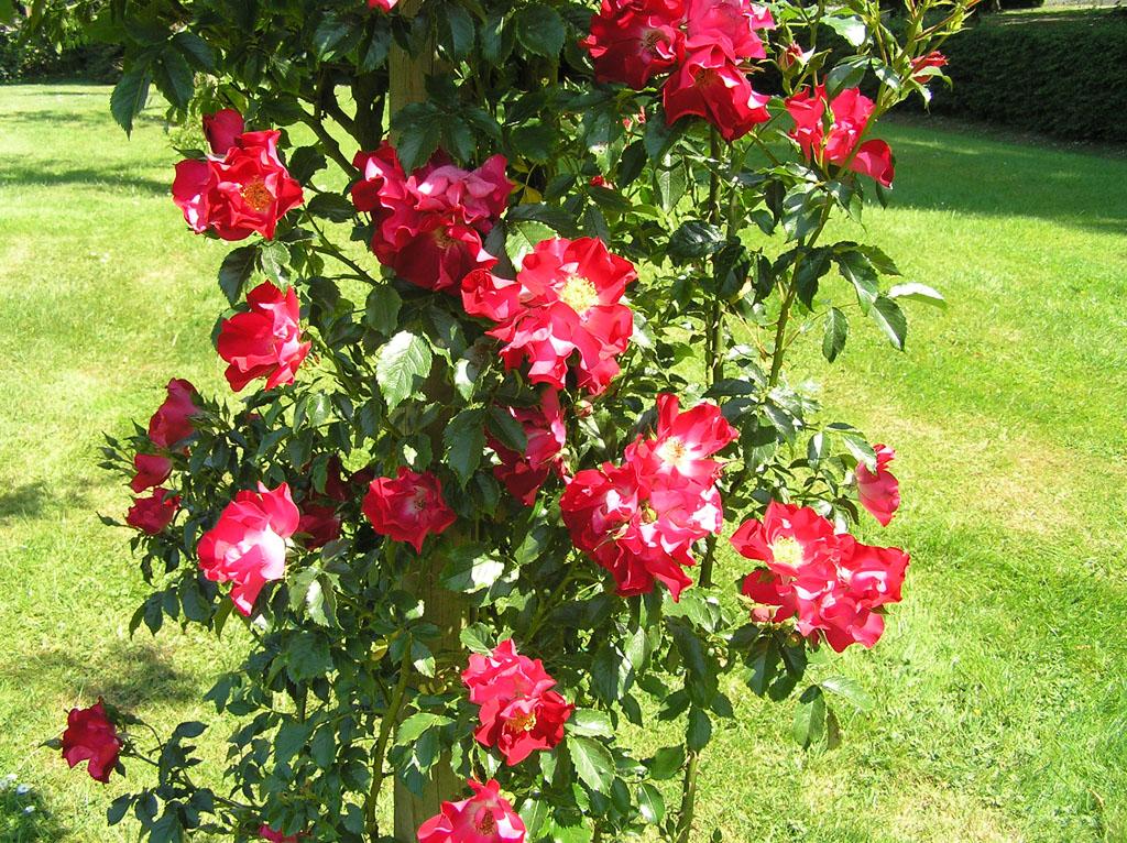 Плетистая роза дортмунд 1