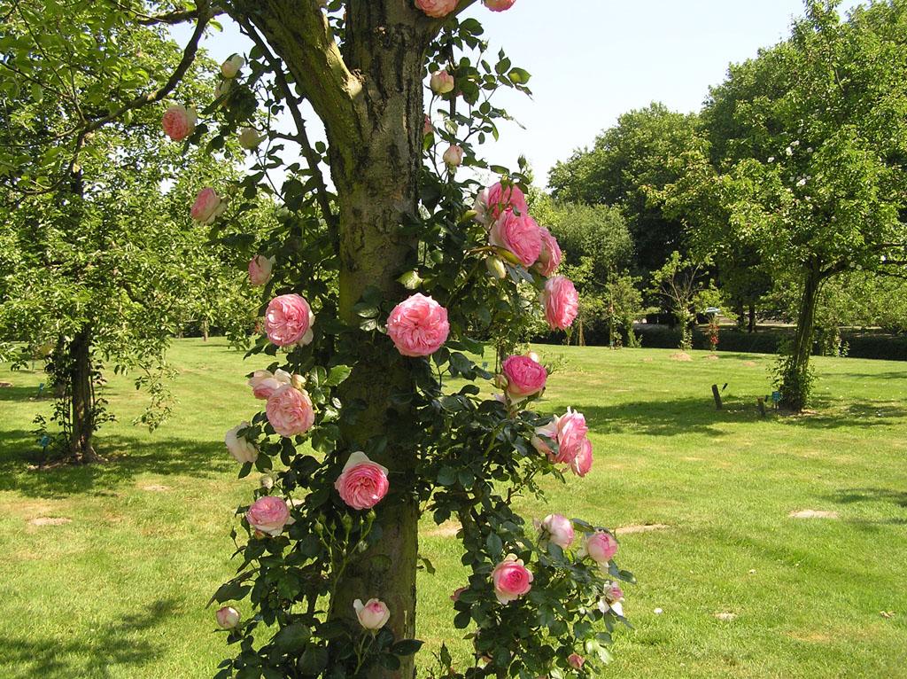 Штамбовая плетистая роза 4