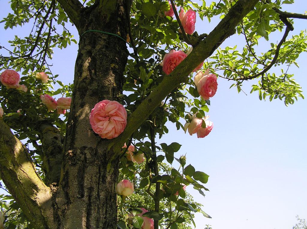 Садовые цветы плетистая роза 6