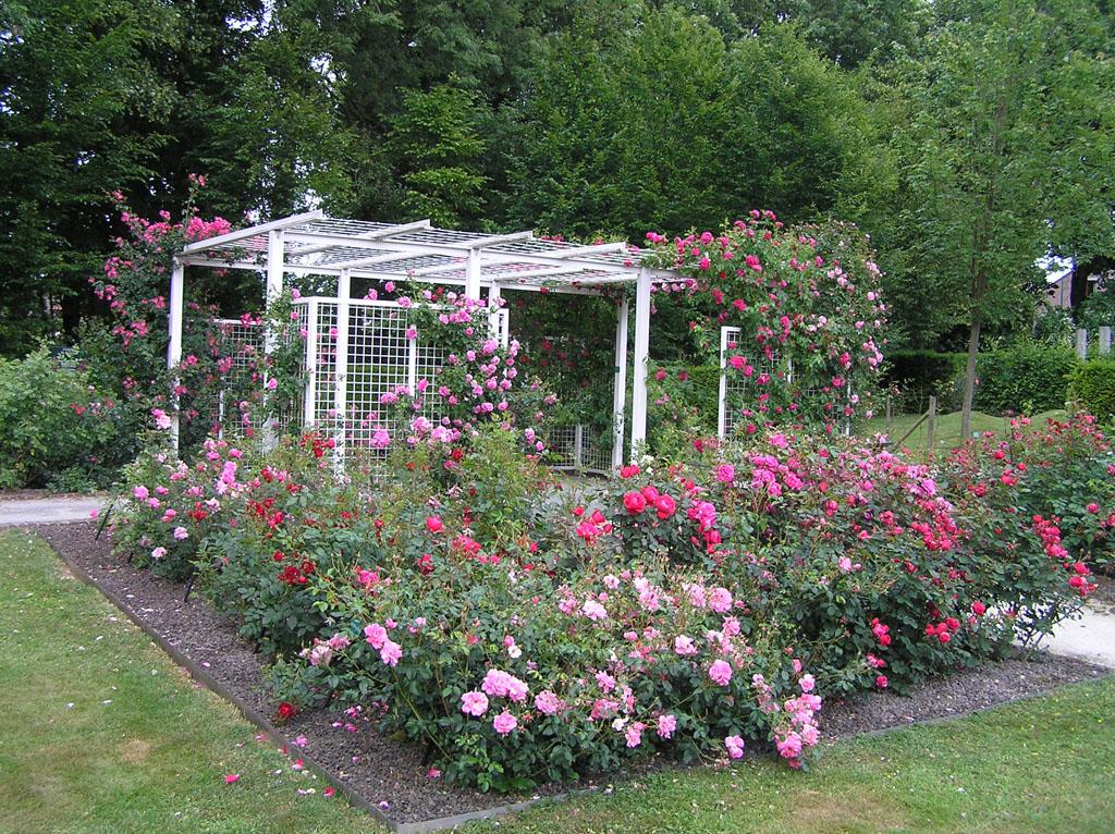 Куда посадить плетистую розу 6