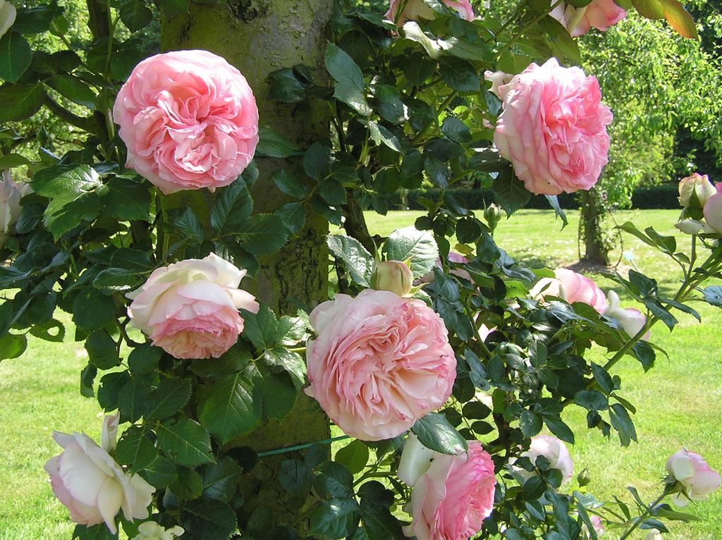 Как размножается плетистая роза 6