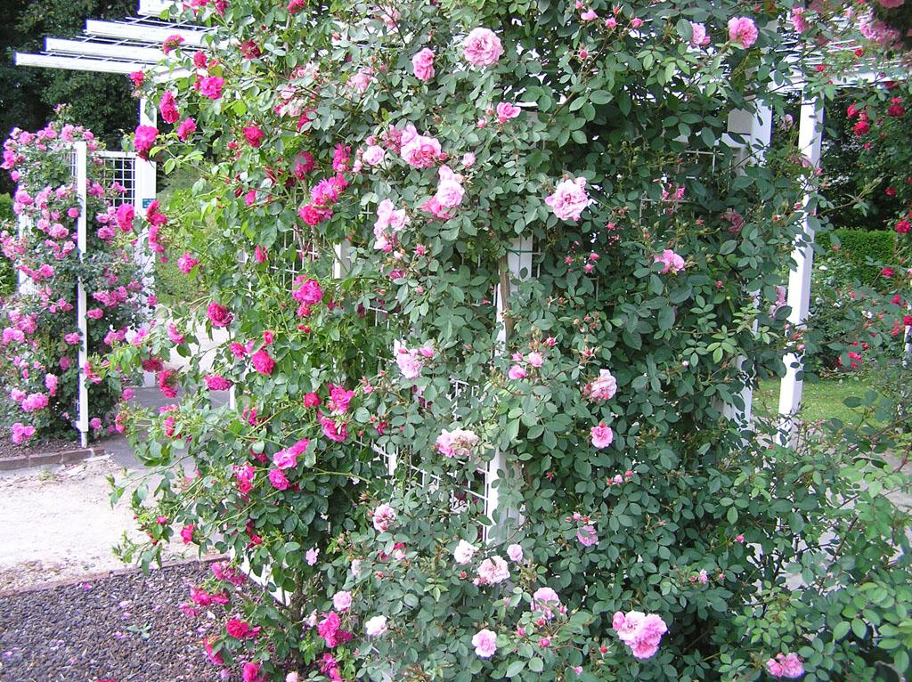 Роза плетистая джон кэбот 1