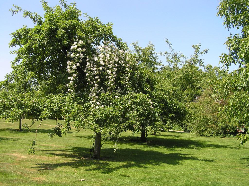 Плетистая роза размножение и уход 5