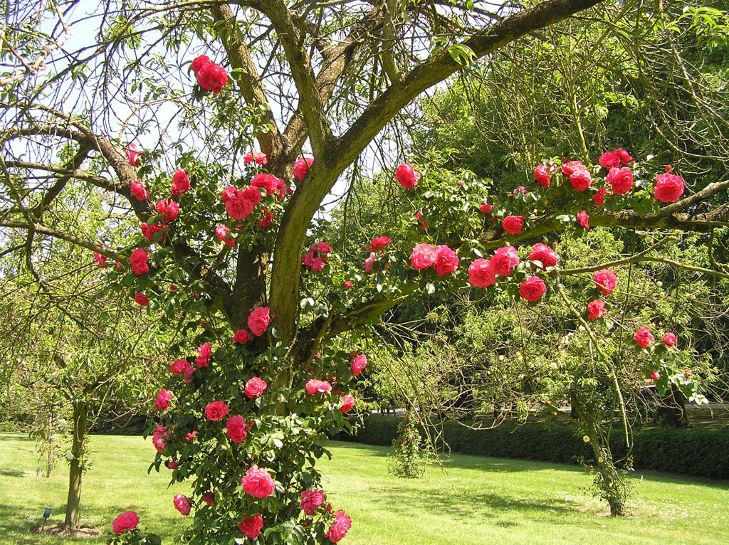 Штамбовая плетистая роза 3