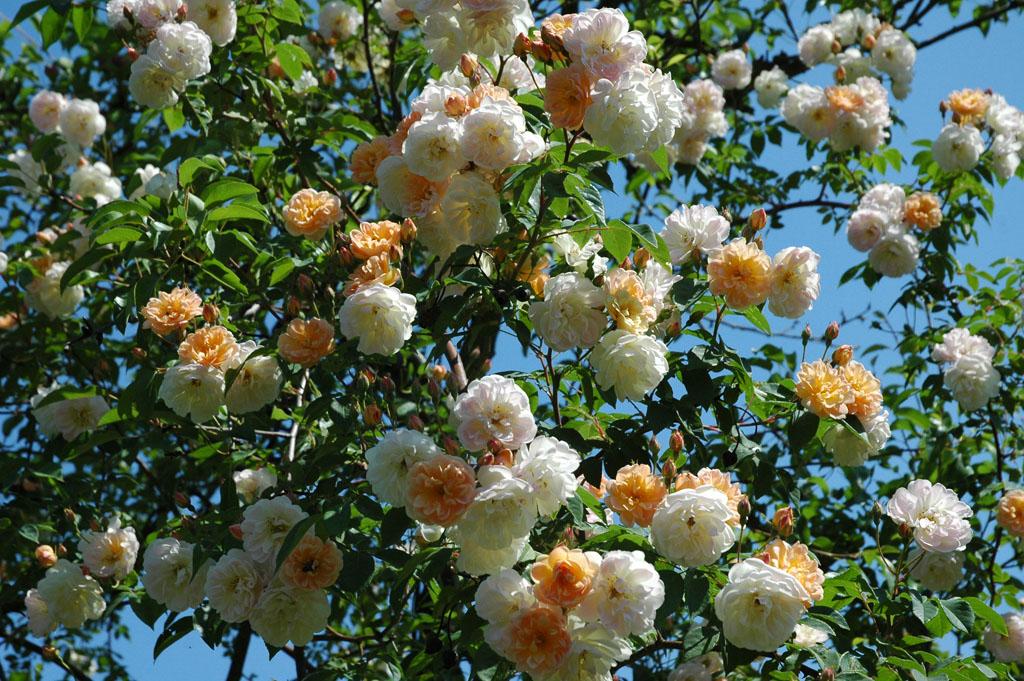 Персиковая плетистая роза 1