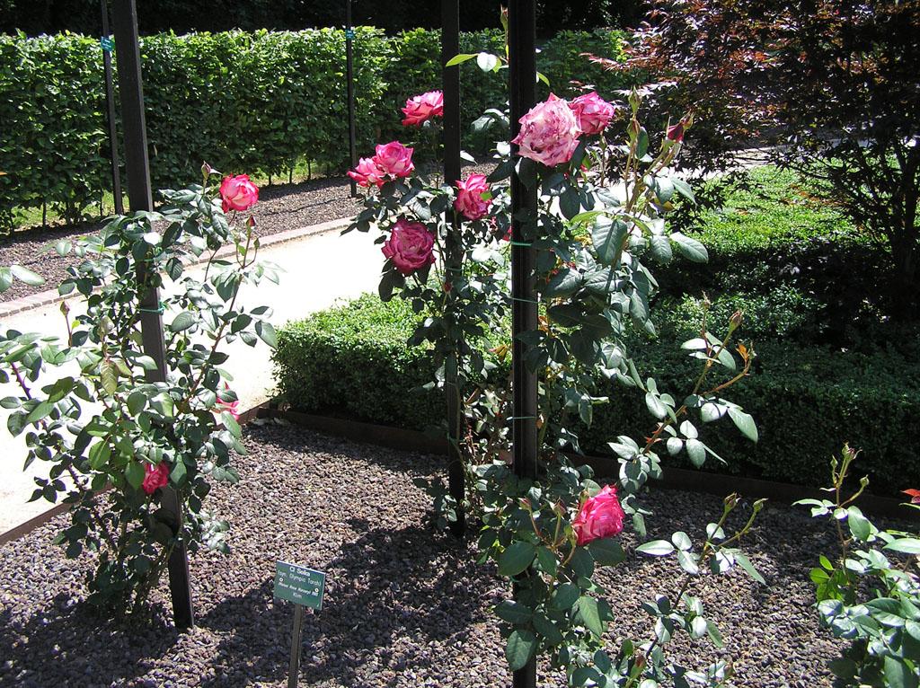 Плетистая роза дома 6