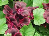 Pelargonium Lord Bute