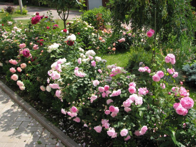 Что посадить с розами остина