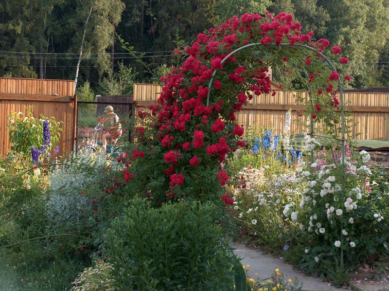 Роза плетистая эксцельза фото