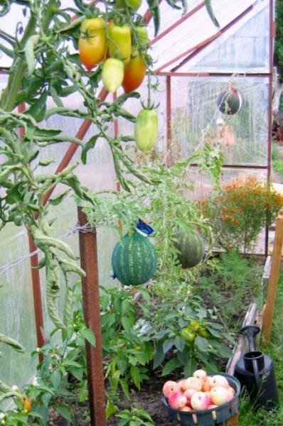 Выращивание дыни в парнике в подмосковье 92