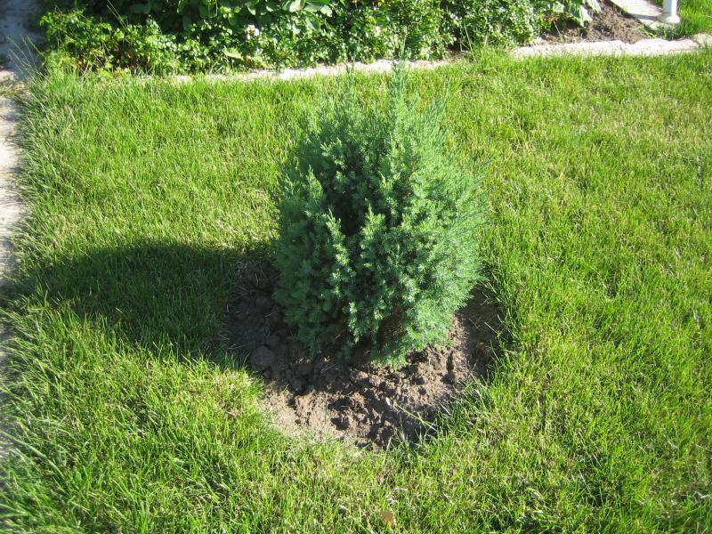 Выращивание можжевельника дома 24