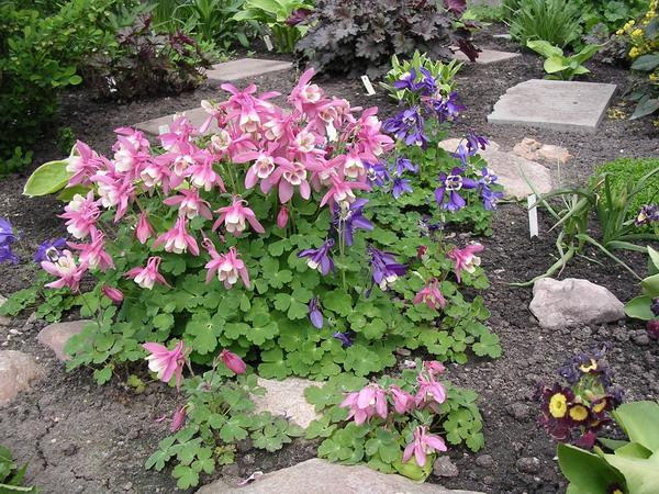 Цветы аквилегия в саду