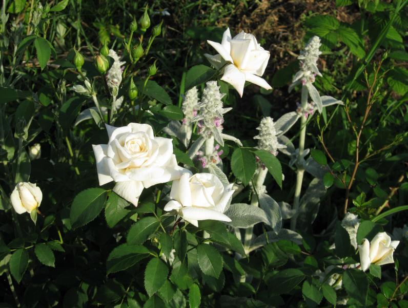 Роза плетистая pierre de ronsard 6