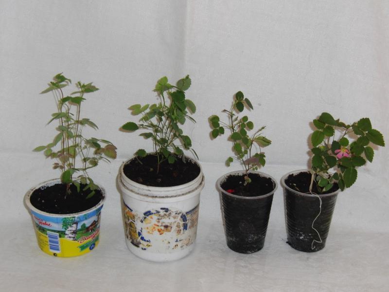 Как выращивание розы домашней из семян 84