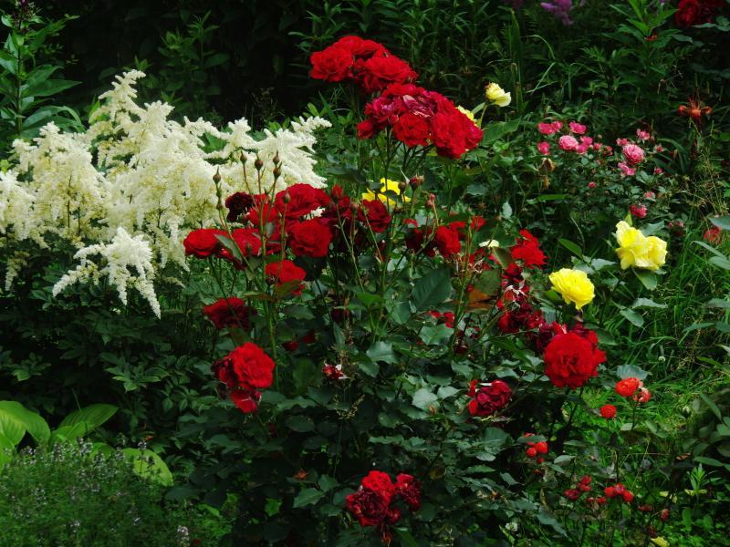 описание вейбул нина фото розы и