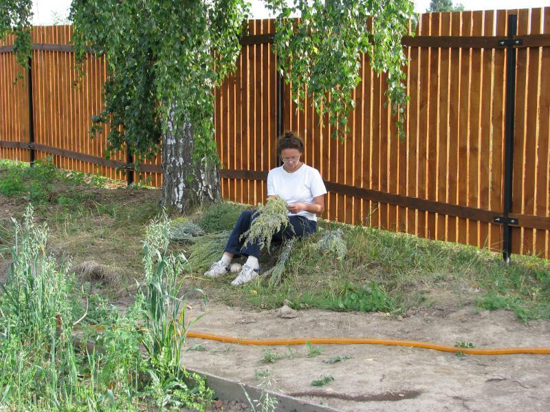 Береза можно ли сажать во дворе и у дома 291