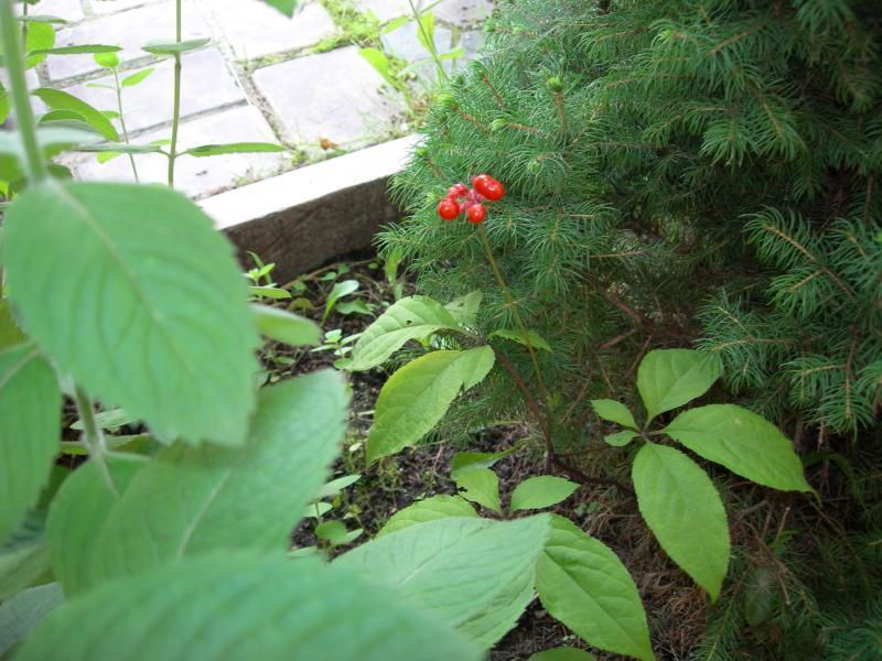 Женьшень и его выращивание в сибири 28