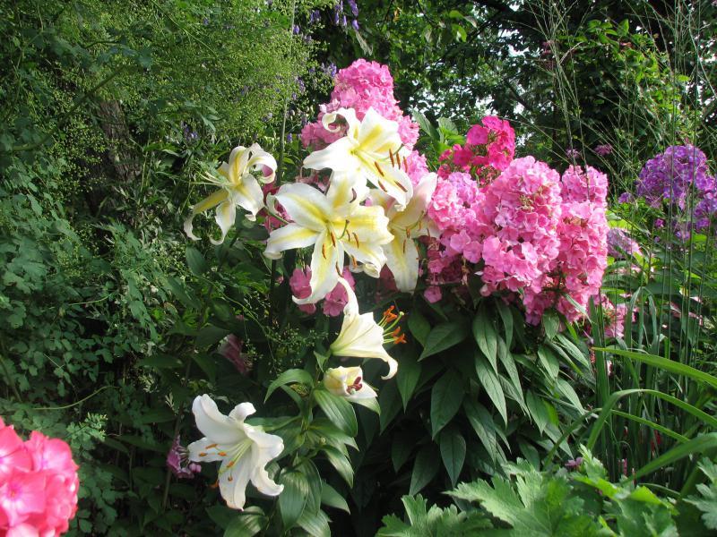 Можно ли сажать лилии с флоксами