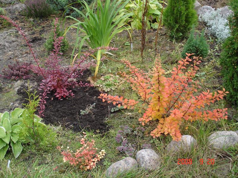 Как сажать кусты барбариса осенью 53