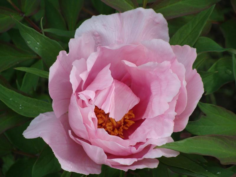 Первый цветок пиона