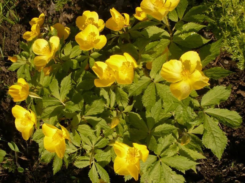 Лесные цветы фото с названием в сибири