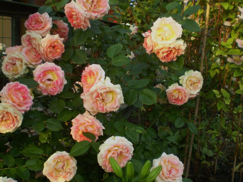 Плетущая роза цезарь