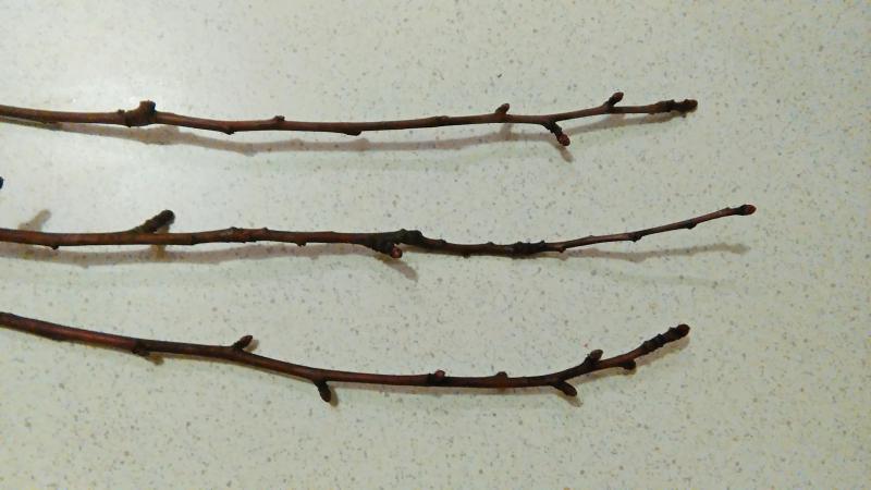 Выращивание яблони черенками 39