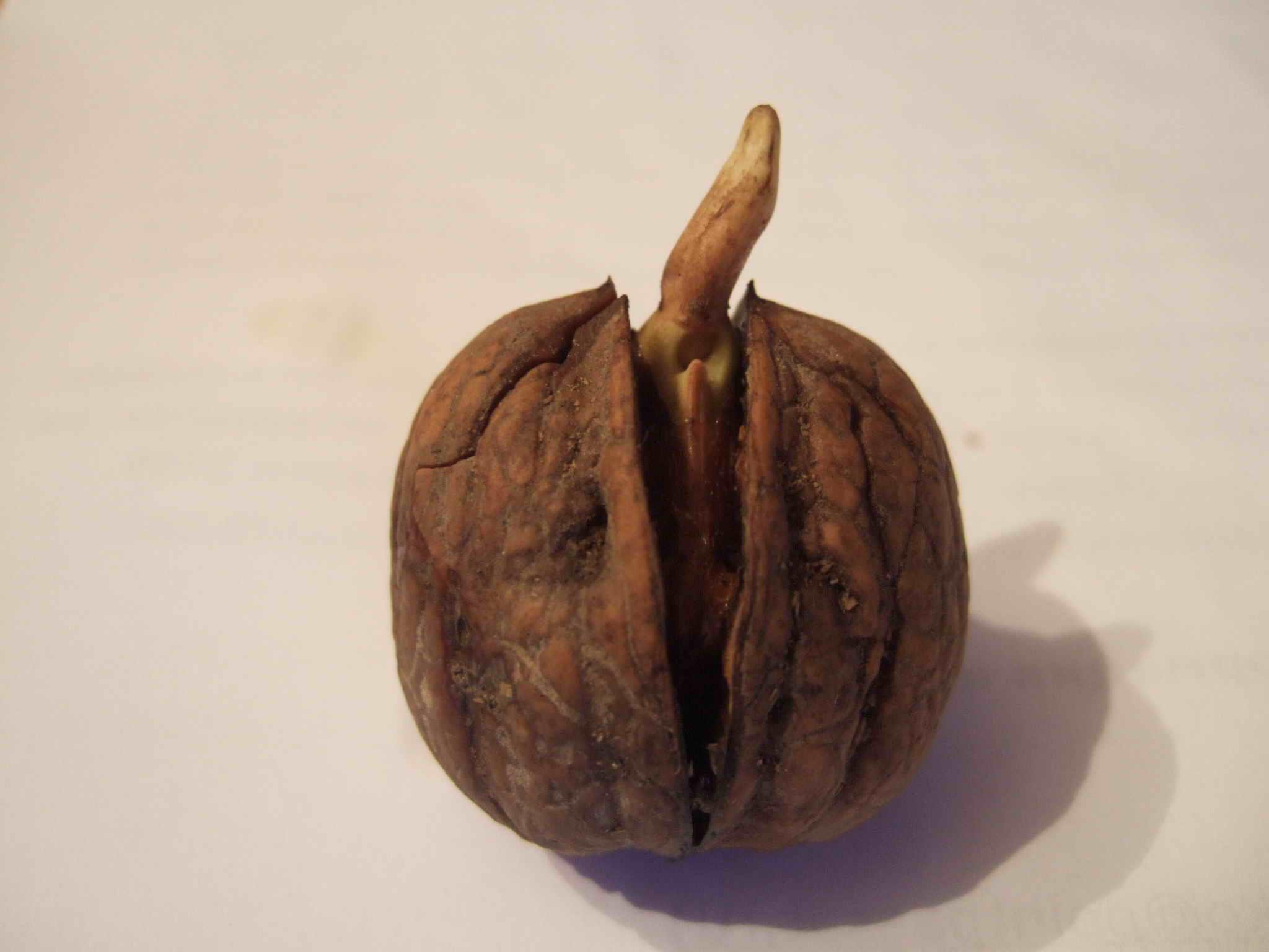 Выращивание грецкого ореха из семян ЧАСТНЫЙ ДОМ. САД 53