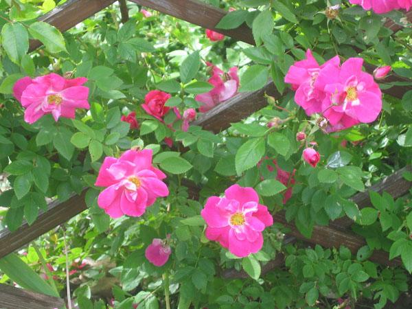 кашель роза плетистая уильям баффин выращивание в спб мансардного этажа